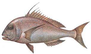 trança balığı ile ilgili görsel sonucu